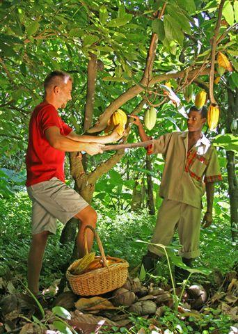 Fond Doux Cocoa Harvesting