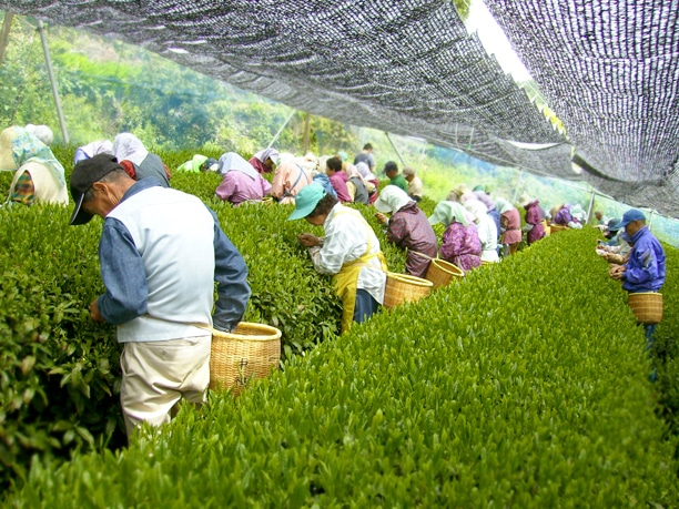 Tea leaf plucking