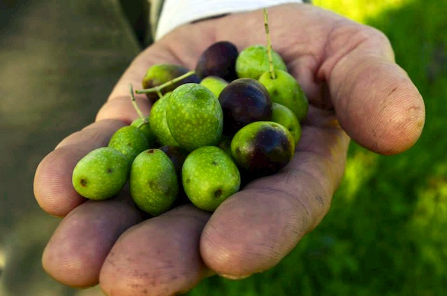 handpicked olives