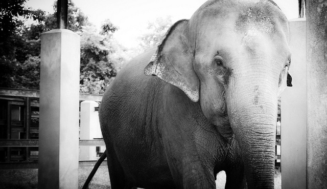 Elephants In Thailand - Ethical Tourism Issues |Epicure