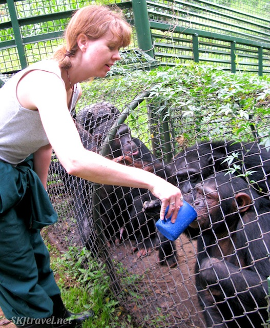 Feeding the chimps breakfast porridge at the UWEC as they transition from their night enclosure to the daytime island