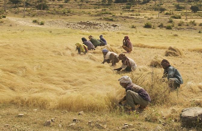 teff harvest ethiopia