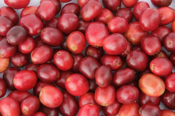 coffee cherries