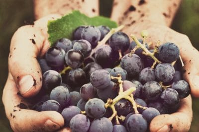 48 Hours On A Vineyard: 5 Things I Learned During Harvest Season