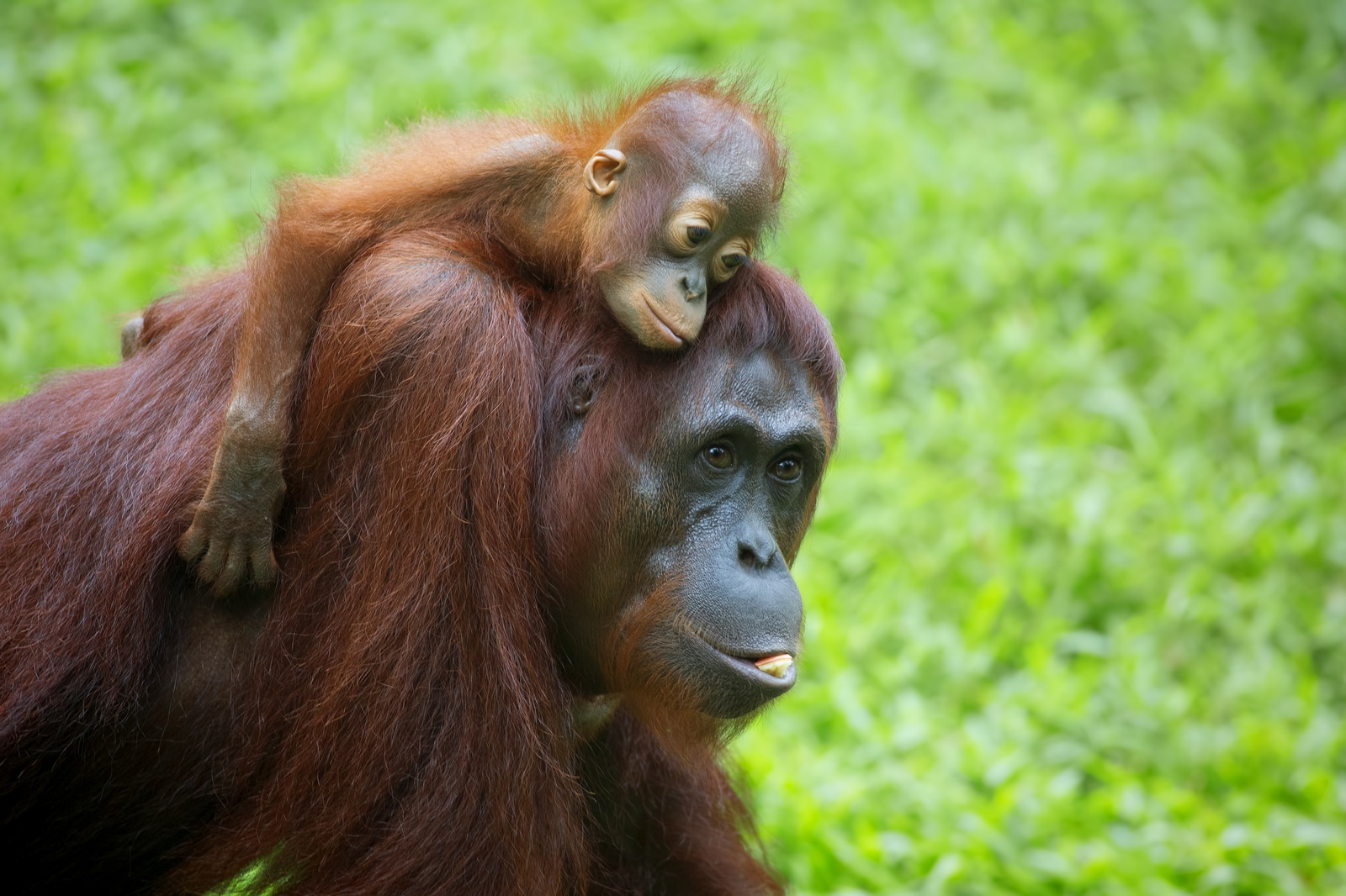 How Palm Oil Deforestation Is Hurting the Orangutan ...
