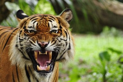 Can Tiger Tourism Be Responsible?